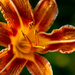 Daylily in evening by randystreat