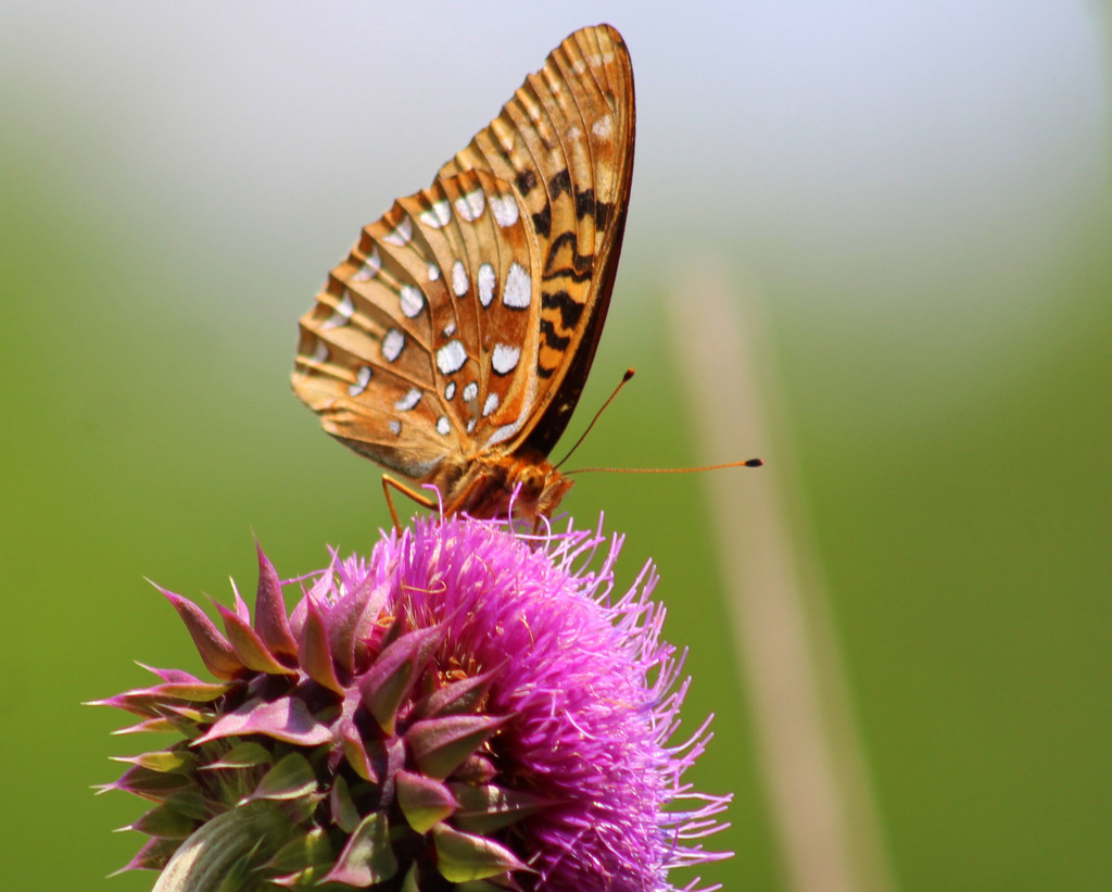 Great Spangled Fritillary by cjwhite