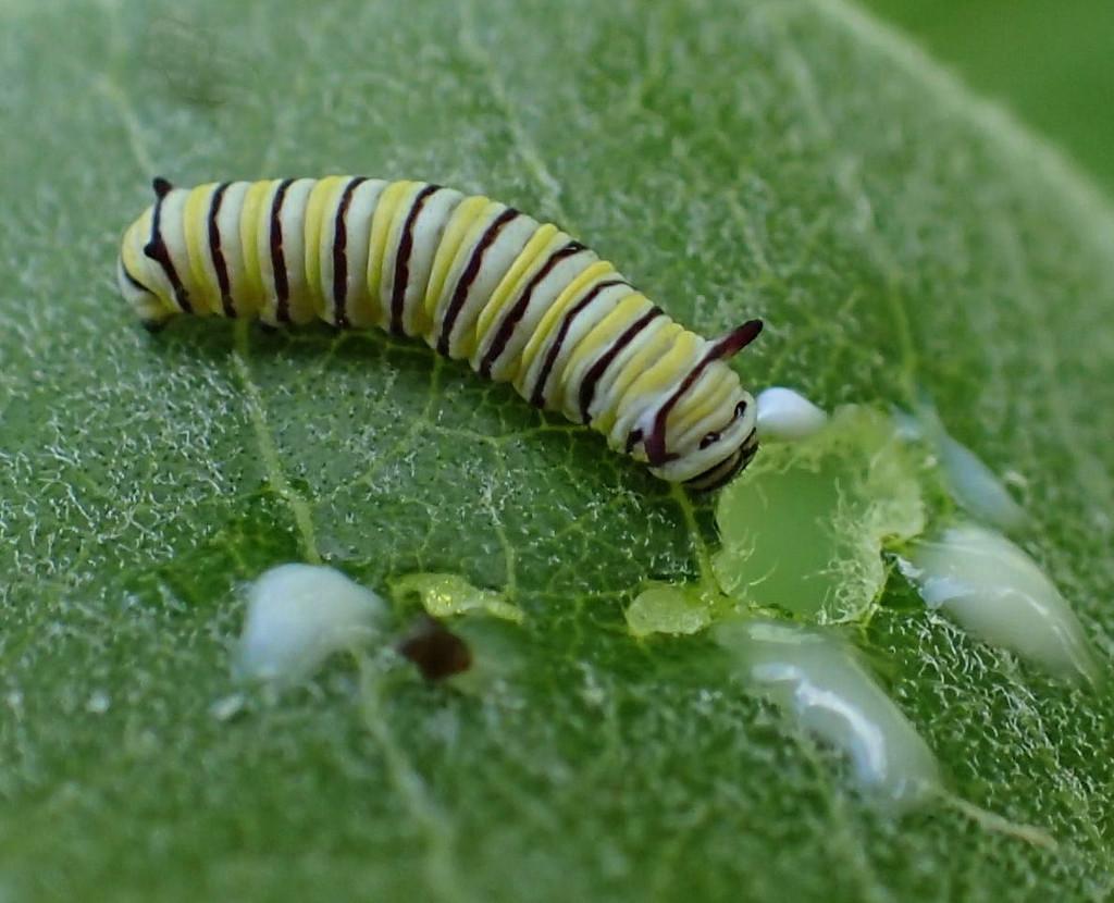Tiny Monarch Caterpillar by cjwhite