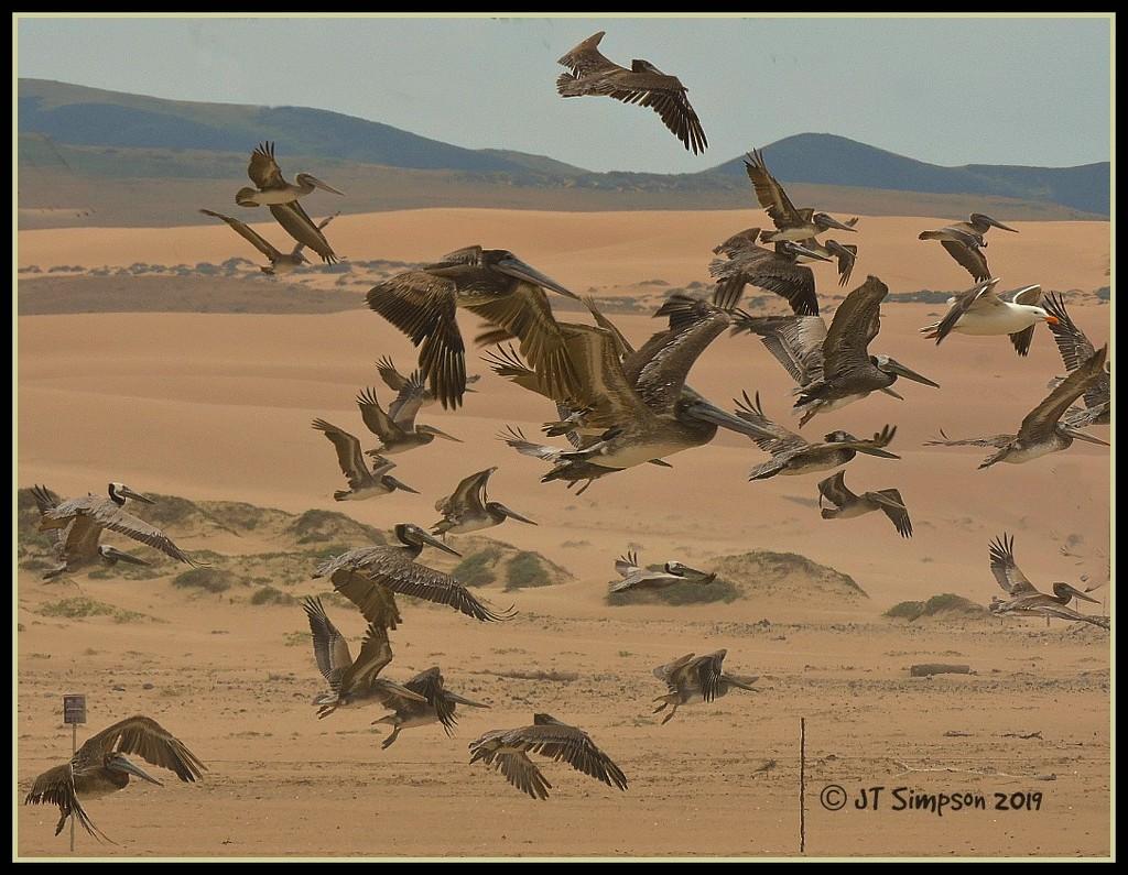 Pelican Stampede... by soylentgreenpics
