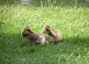 2nd Jun 2019 - Little Goslings