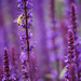 One Bee, Lots of Lavendar by gq