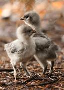 3rd Jun 2019 - New Chicks