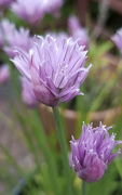 30th May 2019 - Chive Blossoms 2019