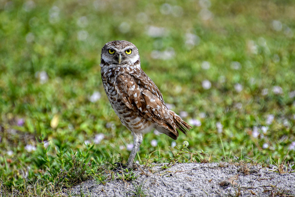 Burrowing owls by danette