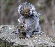 3rd Jun 2019 - Cheeky Squirrel