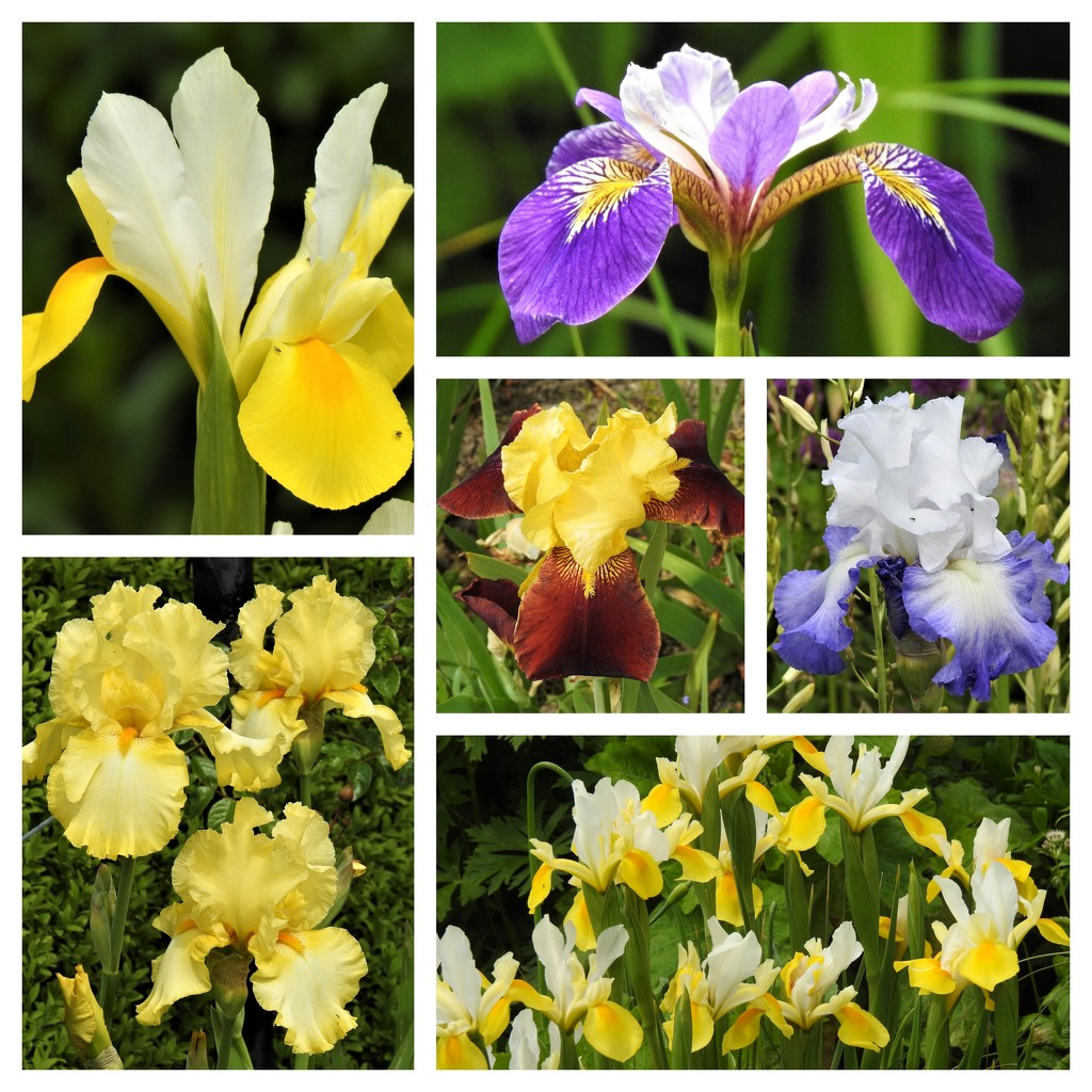 Iris at Hergest Croft  by susiemc