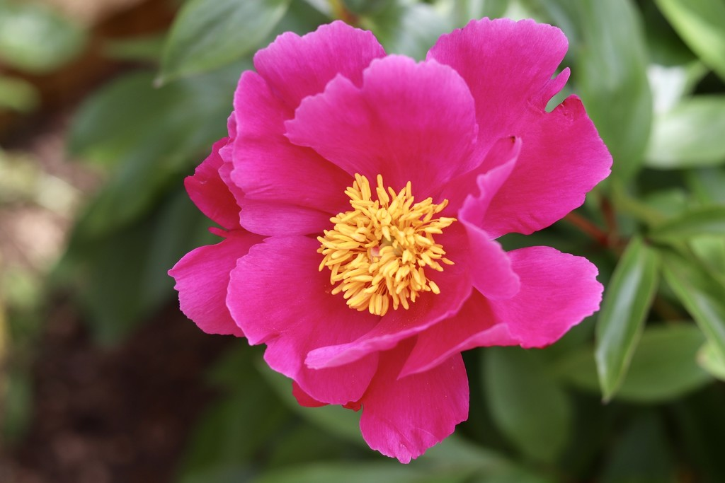 A Different Peony  by carole_sandford