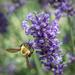 Busy little bee by samae