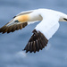 Another Gannet from our vacation by dridsdale
