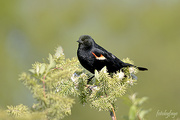 3rd Jun 2019 - Red-winged blackbird!