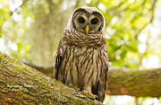 3rd Jun 2019 - One More Shot of the Baby Barred Owl!