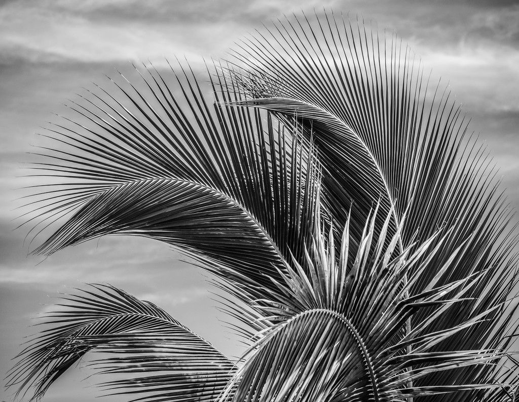 TCI - Palm Fronds by rosiekerr