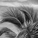 TCI - Palm Fronds