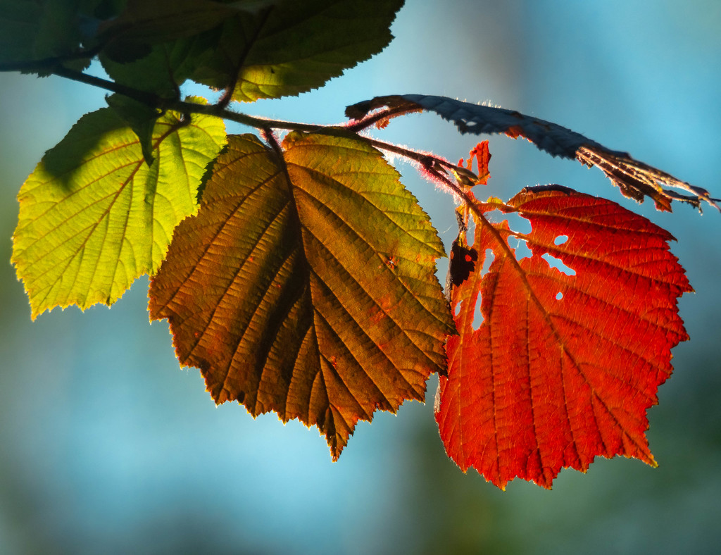 Three leaves - three colors by haskar