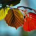 Three leaves - three colors by haskar