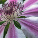 Clematis. by tonygig