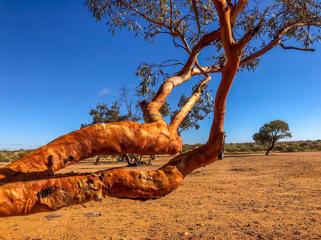 red gum tree at a lunch stop by pusspup