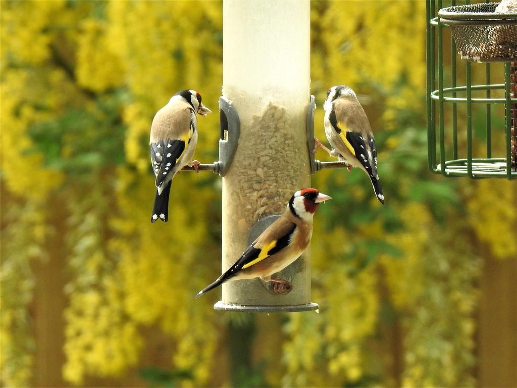 Busy Birdfeeder  by susiemc
