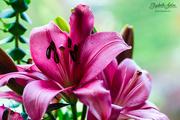 4th Jun 2019 - Pink lily