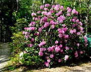 4th Jun 2019 - My rhodies are amazing this year !!
