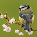 Blue Tit on Blossom by shepherdmanswife