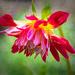 Dahlia in bloom  by samae