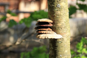 4th Jun 2019 - Y10 M06 D155 Mushroom on Tree