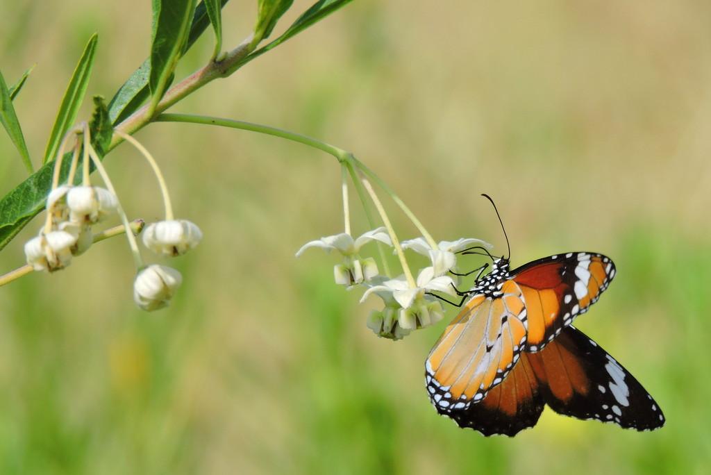 Butterfly  by ubobohobo