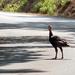 Wild Female Turkey