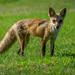 our neighborhood fox by samae
