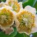 Kiwi Flower by tonygig