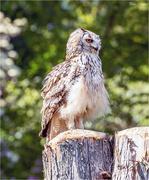5th Jun 2019 - Short-Eared Owl