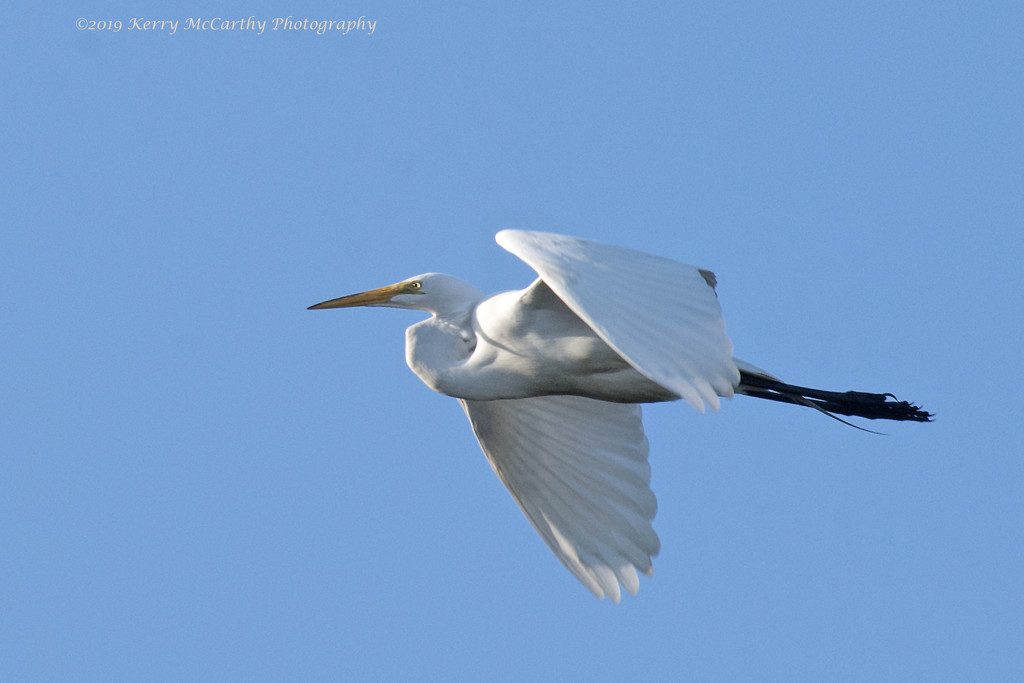 Egret fly-by. by mccarth1