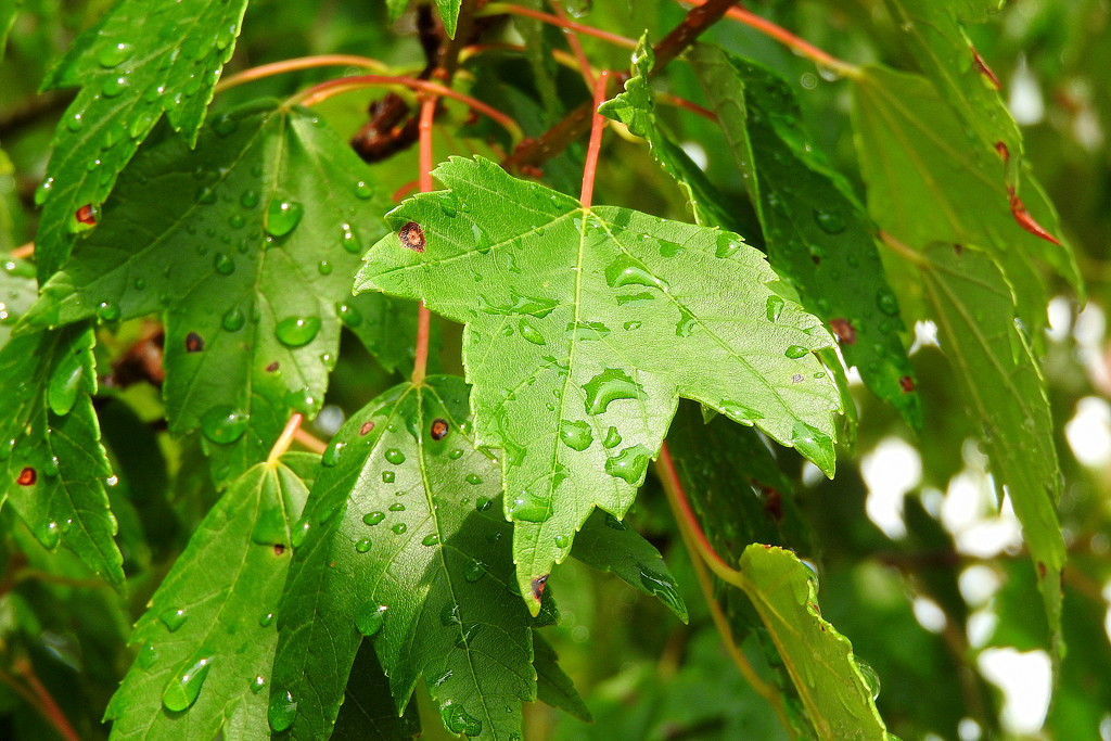 Raindrops on maple leaves...... by homeschoolmom
