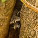 Rocky Raccoon Was Hiding in His Tree Again! by rickster549