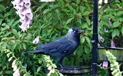 6th Jun 2019 - Jackdaw .
