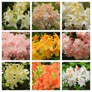 6th Jun 2019 -  Azaleas at Hergest Croft