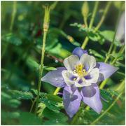 6th Jun 2019 - purple flower in the neighbor's garden