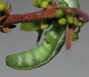 6th Jun 2019 - Brimstone caterpillar undercarriage