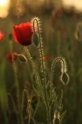 7th Jun 2019 - Poppy sunset