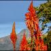 Aloe Africana wherever I go. by ludwigsdiana