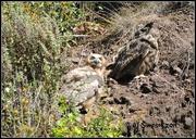 3rd Jun 2019 - Hillside Owls...