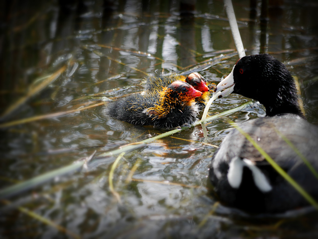 Mumma Coot Feeding Her Babies  by gq