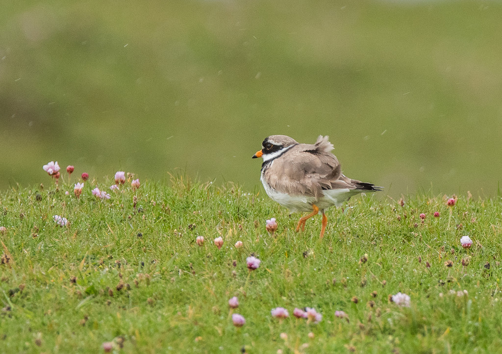 Ringed plover in the rain by inthecloud5