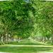 Sunlit Avenue Of Trees by carolmw