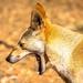 Even a dingo's gotta yawn!