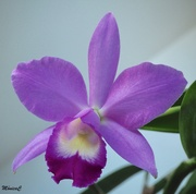 7th Jun 2019 - Cattleya