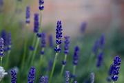 7th Jun 2019 - Lavender