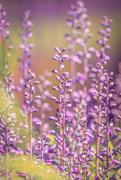 7th Jun 2019 - soft purple spikes